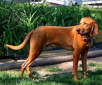 coonhounds for sale in canada