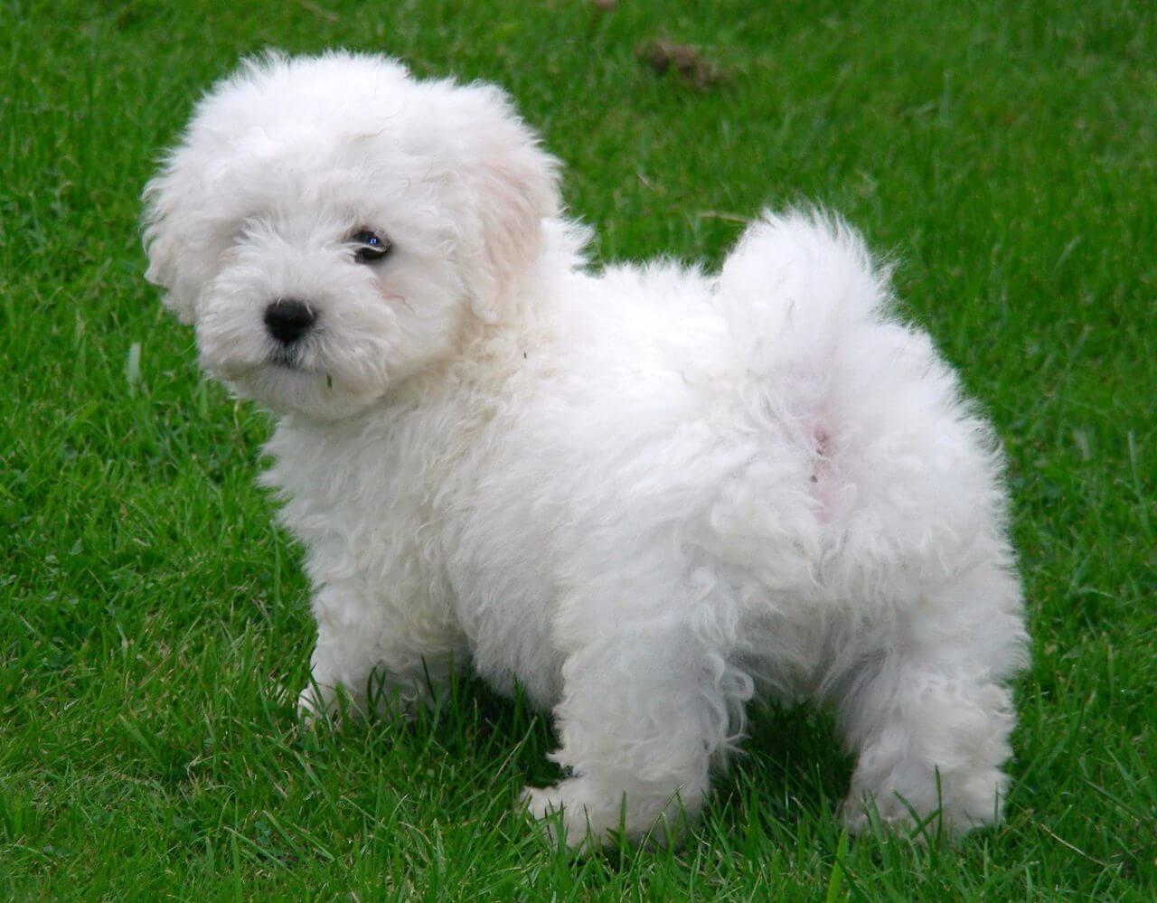 Bichon Maltese Puppies For Sale Manitoba