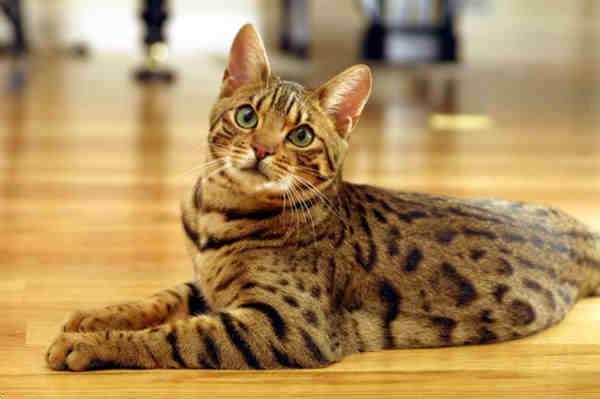 Bengal Cat Rescue San Diego Ca