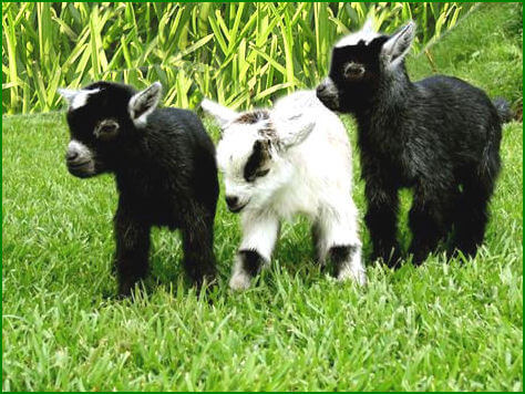 Pygmy Goats For Sale In Rochester Ny