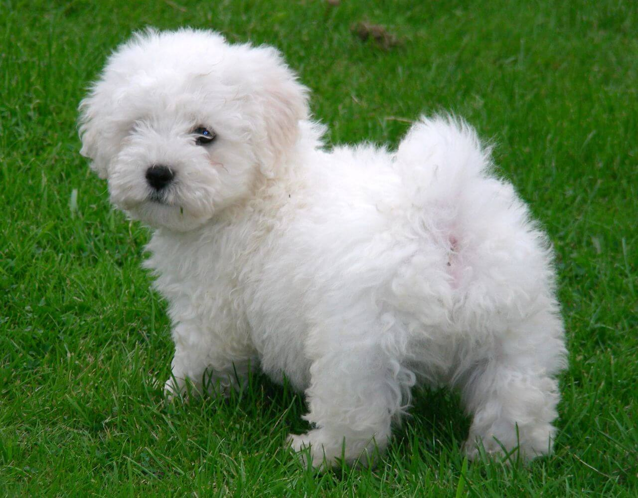 Bichon Maltese Puppies For Sale Manitoba