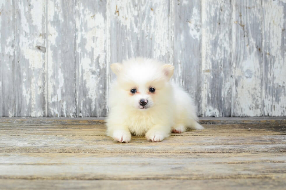 Teacup Pomeranian Puppies For Sale In Missouri