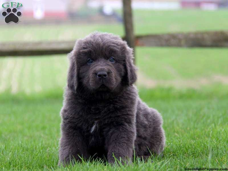 Newfoundland Puppies For Sale Dry Mouth