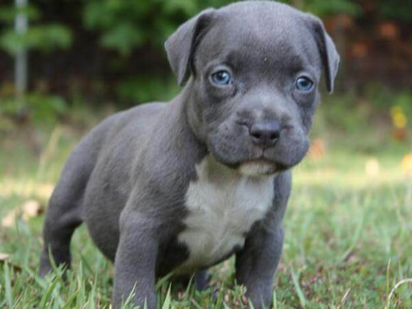 Bluenose Pitbulls For Sale In Saskatchewan
