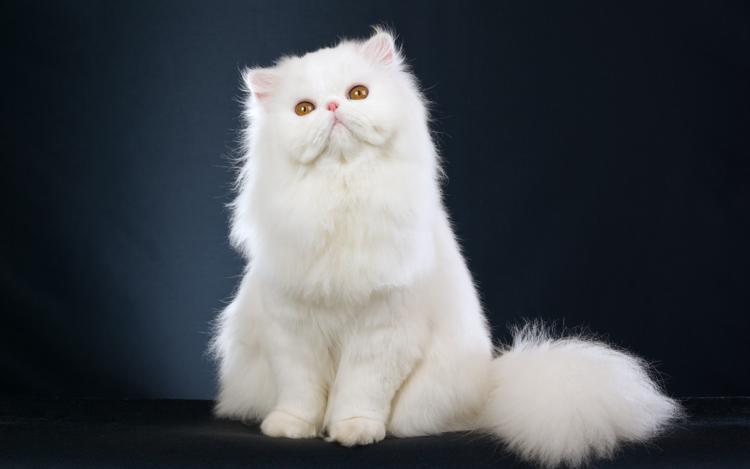 Persian Cats For Sale In Billings Mt