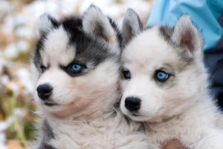 Pomsky Puppies For Sale Fort Worth Tx