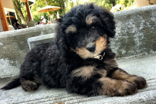 Mini Bernedoodle Puppies For Sale Ohio