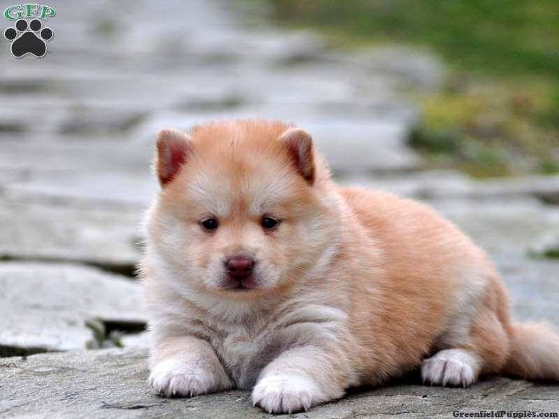 Pomsky Puppies For Sale Gainesville Fl